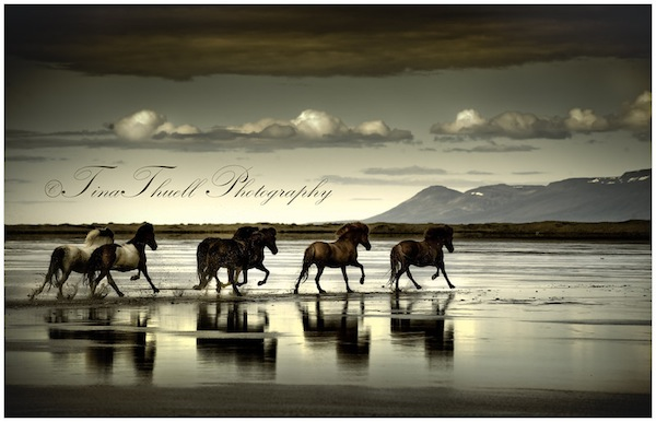 Horses galloping across the River Hop, Iceland.