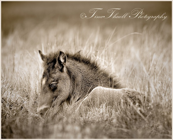 A young foal rests peacefully in the warmth of the tall summer grass. Iceland