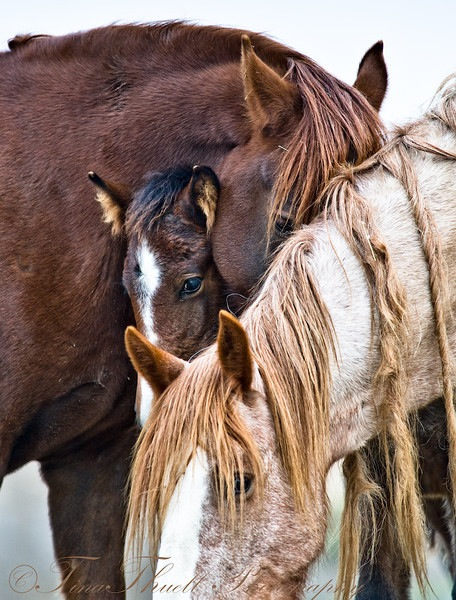 A close knit family of rescued wild mustangs at Return to Freedom Sanctuary in California.