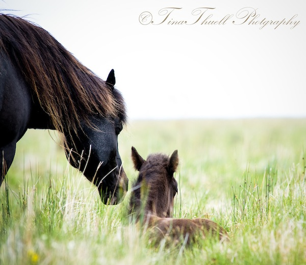 This mare keeps a close and watchful eye on her young foal while he rests in the tall summer grass. Iceland