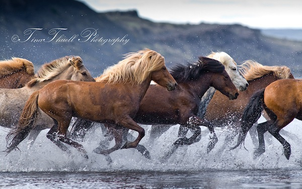 Crashing through the River Hop (pronounced Hope) near Blondous in Iceland.  The  Icelandic horses  are Known for their stamina and during a day of trekking, they  can run for many hours with the help of short breaks in between.  As well, the Icelandic breed are                 great swimmers as it has been a part of their  life in Iceland for centuries.