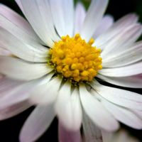 20 Beautiful Daisy Flower Images