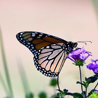 25 Lovely Monarch Butterfly Pictures