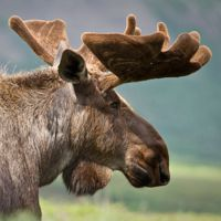 20 Mighty Moose Pictures
