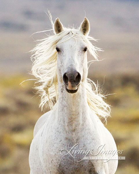 Beautiful Photos Of Wild American Horses By Carol Walker