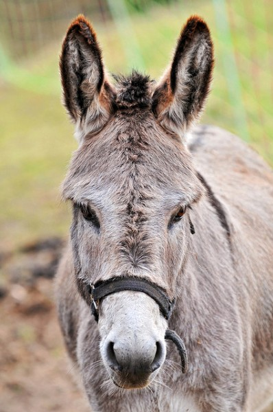 Cute Gray Donkey by Tambako The Jaguar