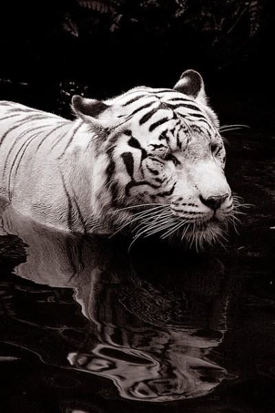 Tiger wading in water by Qi Wei Fong