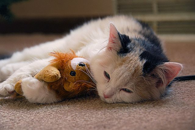 Cat Sleeping With Stuffed Animal