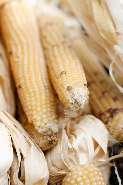 Indian Corn in February by Samantha Chapnick