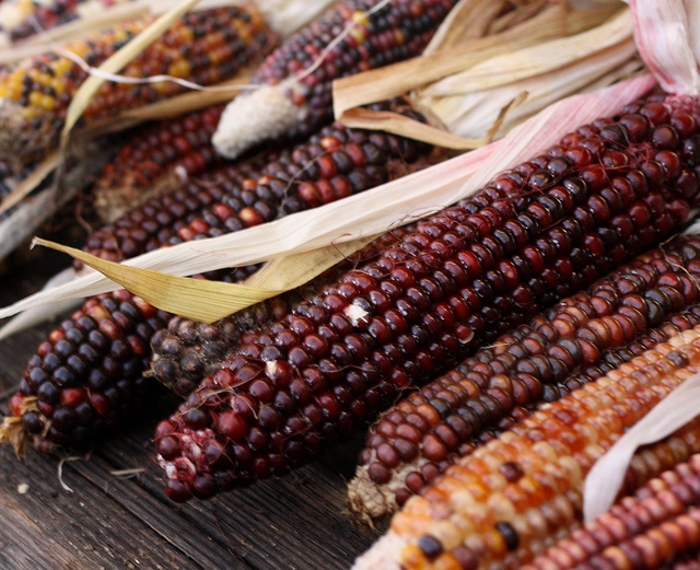 Indian Corn by Jessie Pearl