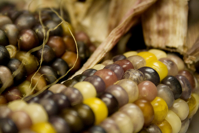 Indian Corn by Chelsea Gomez (Oakes)