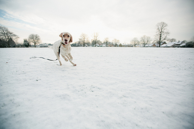 dog running in snow