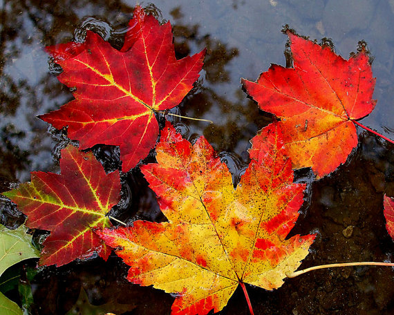 Fall Leaves Floating