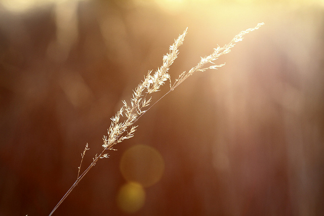 Lens Flare Grass seed head