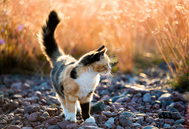 Ulf Bodin Sweden Calico cat