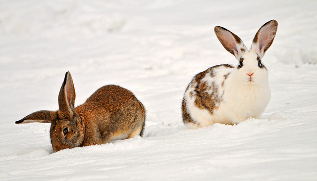 Minimal Winter Rabbits