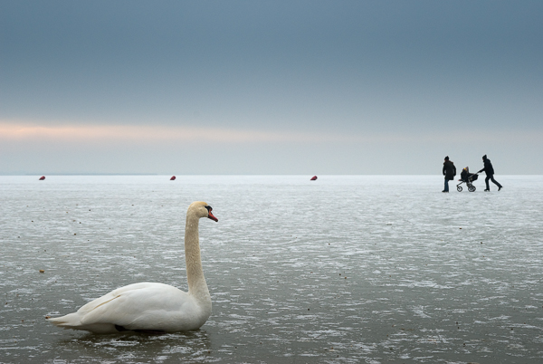 swan and family on a frozen lake