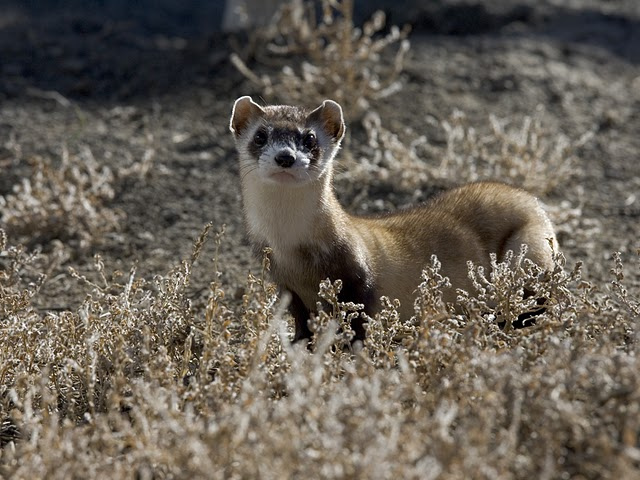 Black-footed Ferret in Preconditioning Pen