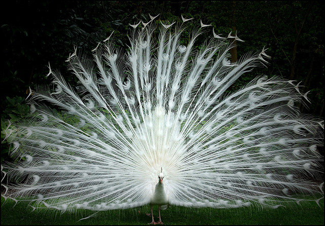 White Peacock by Giang Hồ Thị Hoàng
