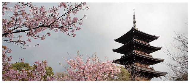 Cherry Blossoms, Toji Temple in Kyoto, Japan
