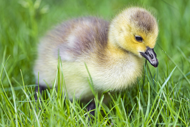 how to draw a baby goose