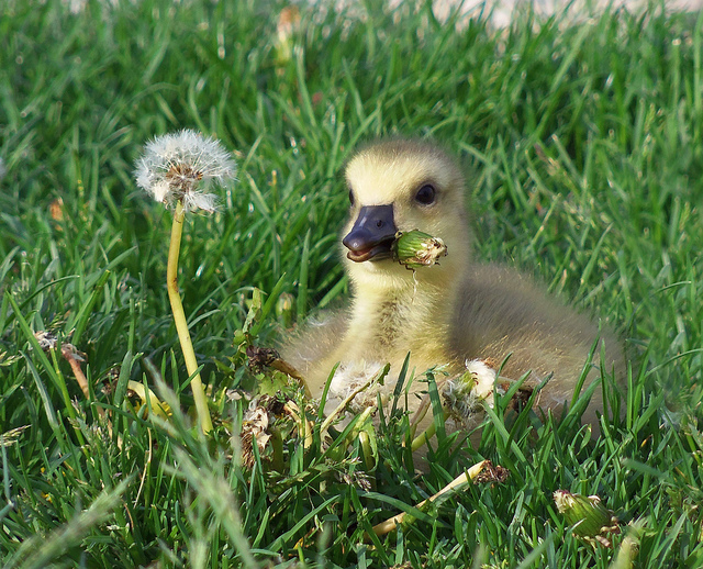 baby goose gosling Who Doesn't Like Baby Geese?