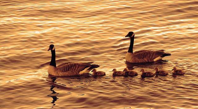 On Golden River baby geese goose gosling