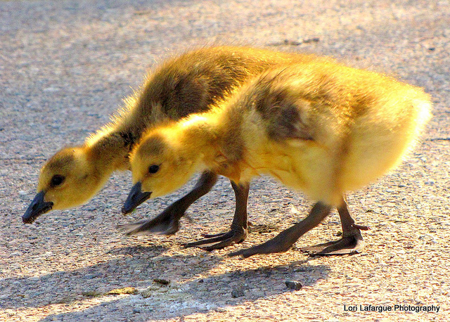 "baby geese goose gosling ""I didn't know you wear contacts."" ""Just keep looking, keep looking!!"""
