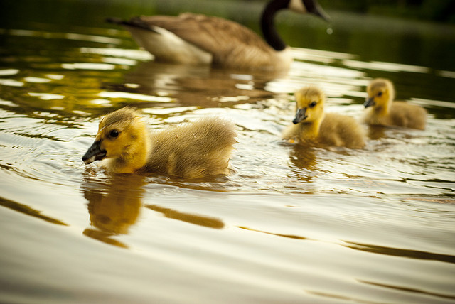 Baby Geese in a row goose gosling