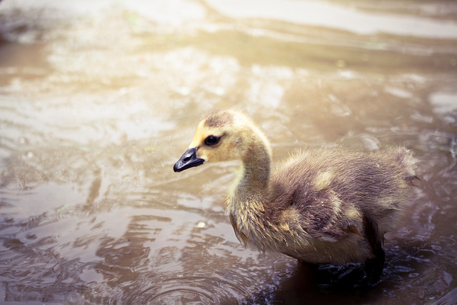 The Ugly Duckling baby geese goose gosling