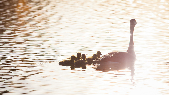Happy Mother's Day baby geese goose gosling