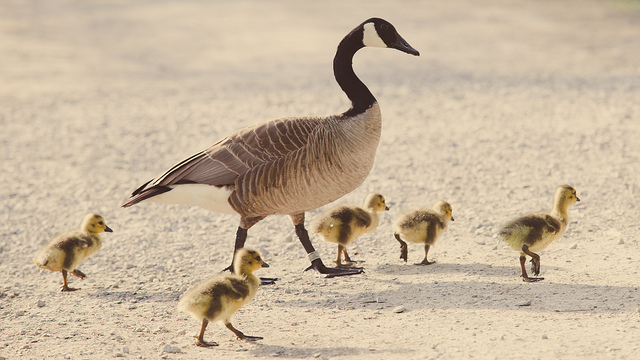 21 Adorable Pictures of Baby Geese