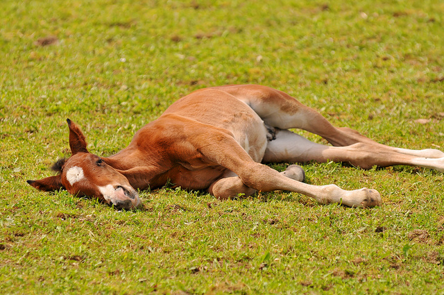 baby horse Tired foal