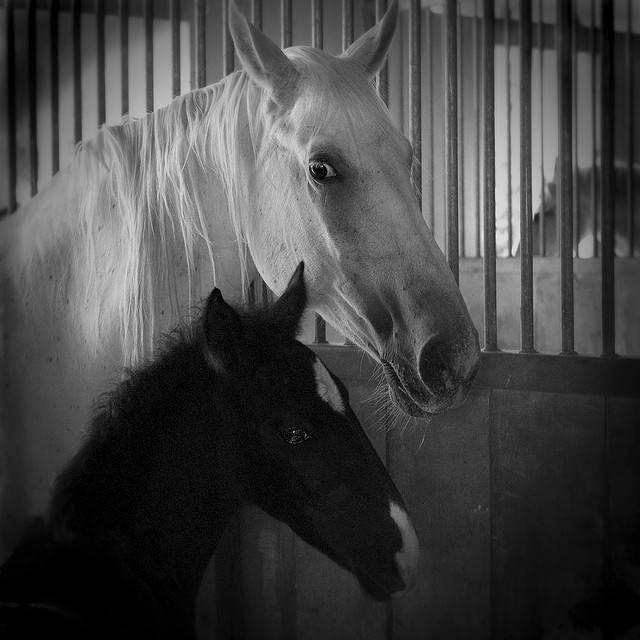 baby horse foal black and white