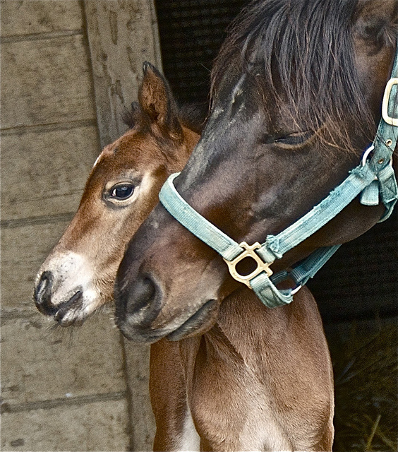 The Protective Mother baby horse foal