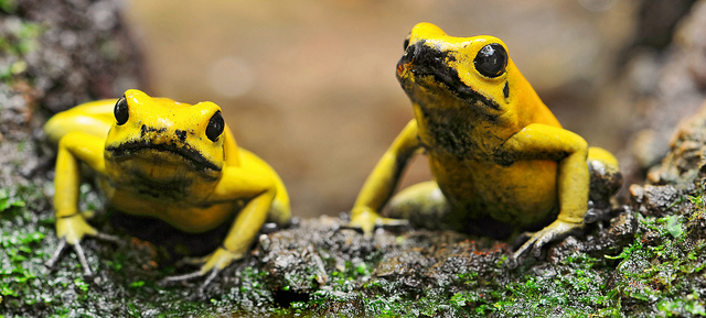 Two yellow frogs tree poison dart