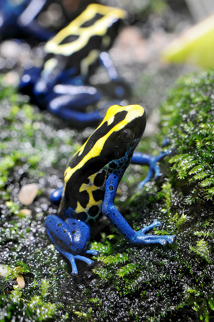 tree Colorful and leaping poison dart frog