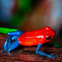 19 Colorful Pictures of Poison Dart Frogs