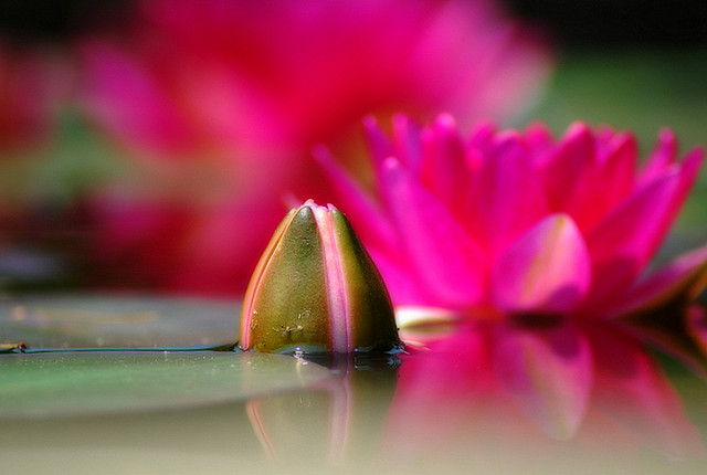 Keep Your Head above the Water:-) cala water lily