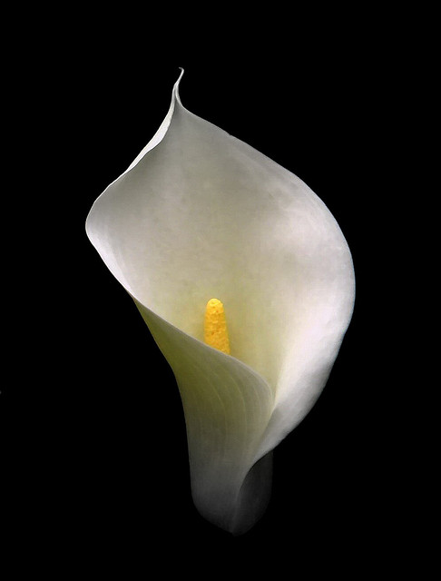 Cala Lily water