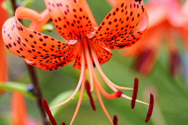 Tiger lilies lily